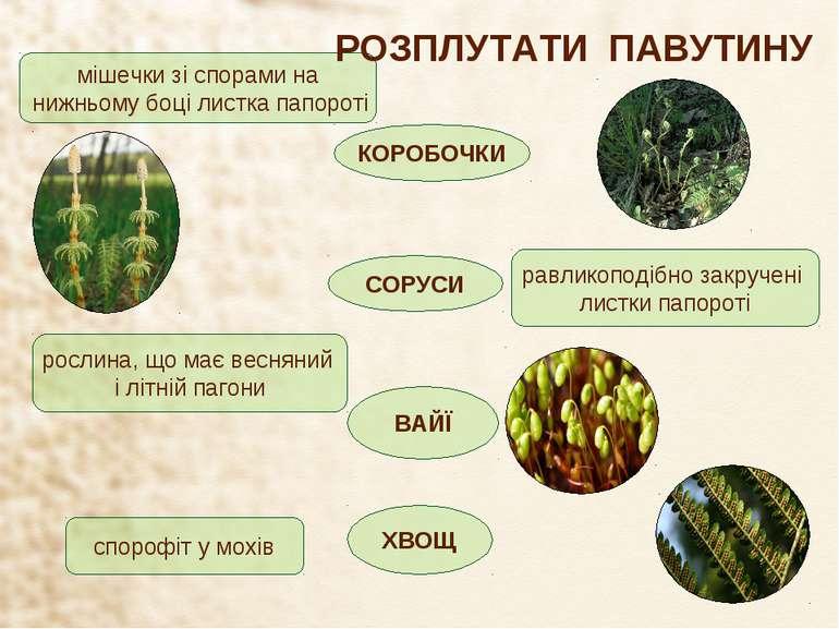 спорофіт у мохів рослина, що має весняний і літній пагони равликоподібно закр...
