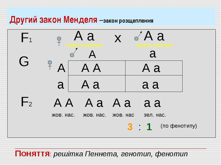 Другий закон Менделя –закон розщеплення F1 А а жовте насіння А а жовте насінн...