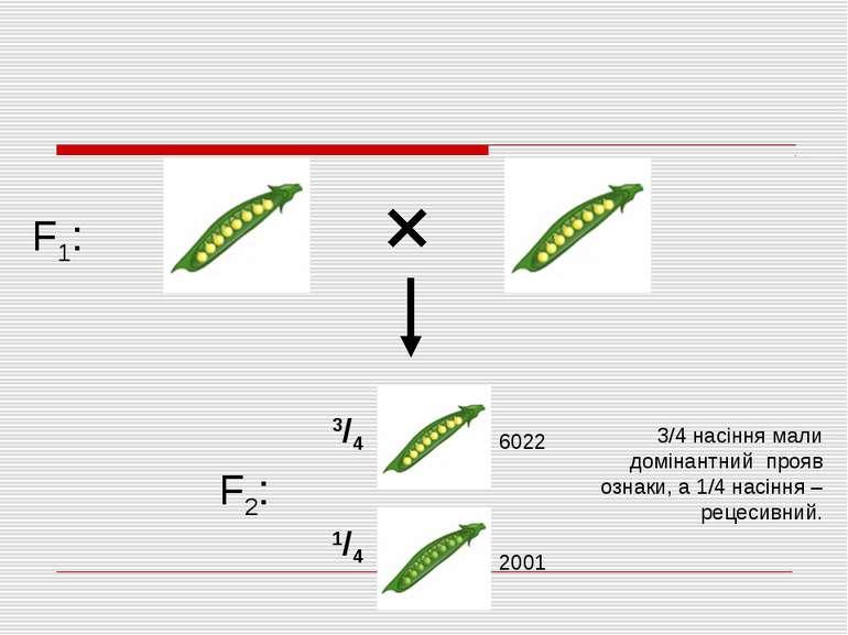 F1: F2: 3/4 1/4 3/4 насіння мали домінантний прояв ознаки, а 1/4 насіння – ре...