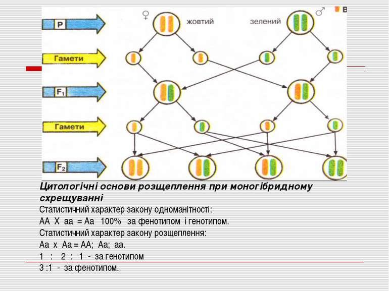 Цитологічні основи розщеплення при моногібридному схрещуванні Статистичний ха...