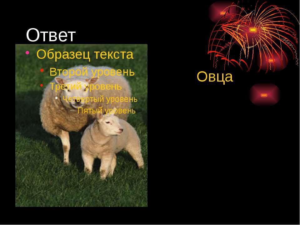 Ответ Овца