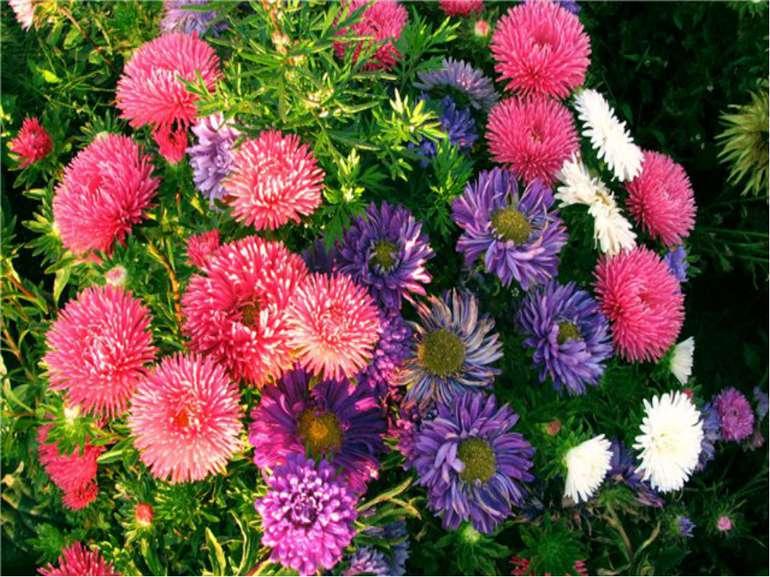 Квітка, яка цвіте наприкінці літа.