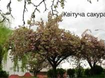 Квітуча сакура