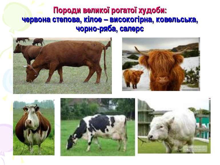 Породи великої рогатої худоби: червона степова, кілое – високогірна, ковельсь...