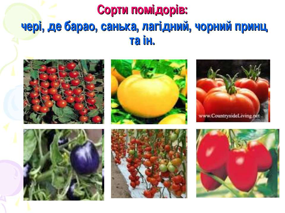 Сорти помідорів: чері, де барао, санька, лагідний, чорний принц та ін.