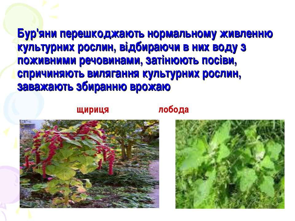 Бур'яни перешкоджають нормальному живленню культурних рослин, відбираючи в ни...
