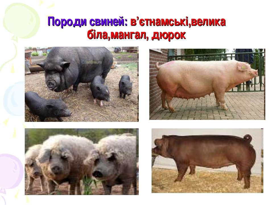 Породи свиней: в'єтнамські,велика біла,мангал, дюрок