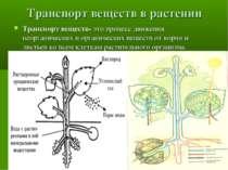 Транспорт веществ в растении Транспорт веществ- это процесс движения неоргани...