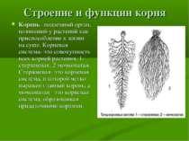 Строение и функции корня Корень –подземный орган, возникший у растений как пр...