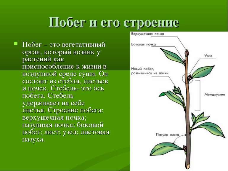 Побег и его строение Побег – это вегетативный орган, который возник у растени...