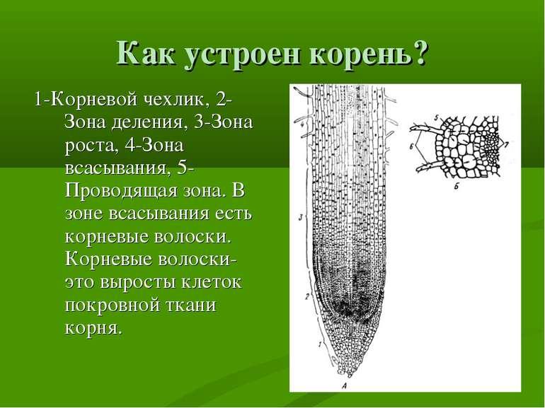 Как устроен корень? 1-Корневой чехлик, 2-Зона деления, 3-Зона роста, 4-Зона в...