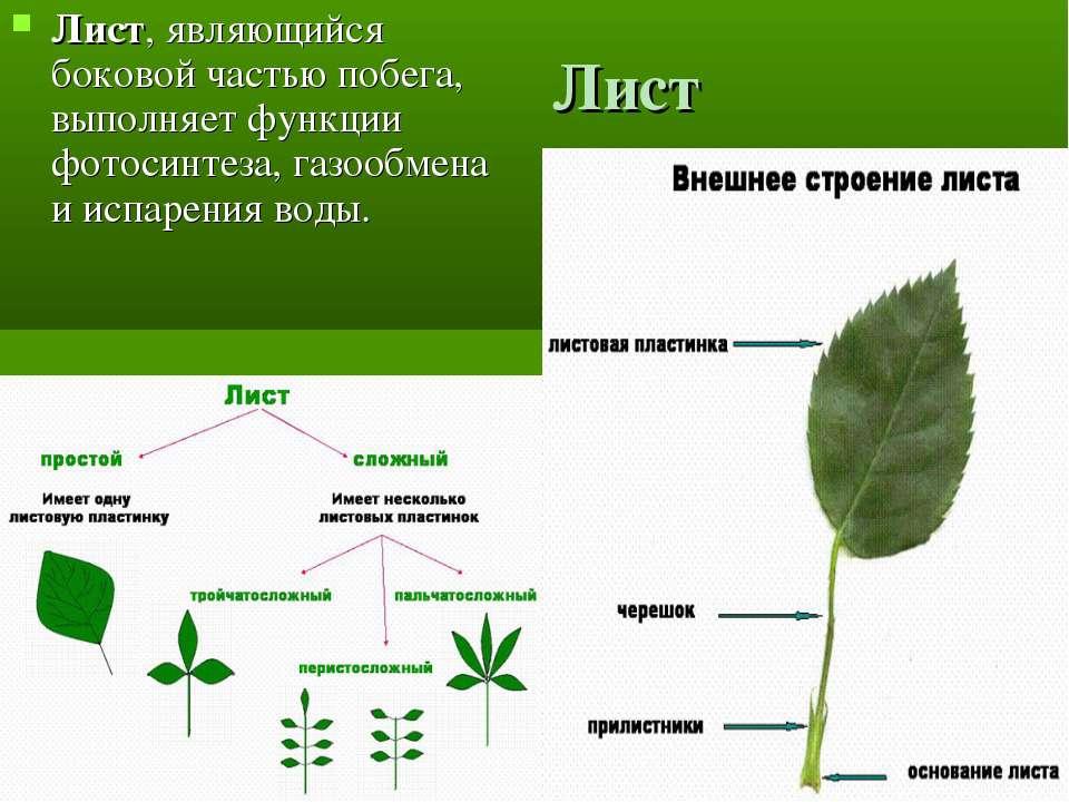 Лист Лист, являющийся боковой частью побега, выполняет функции фотосинтеза, г...