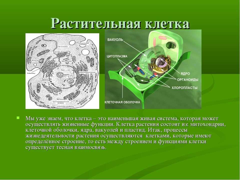 Растительная клетка Мы уже знаем, что клетка – это наименьшая живая система, ...