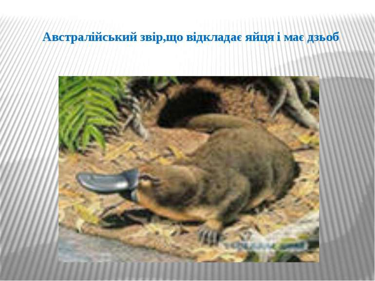 Австралійський звір,що відкладає яйця і має дзьоб