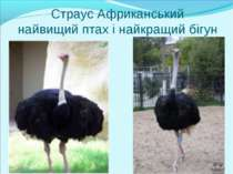 Страус Африканський найвищий птах і найкращий бігун