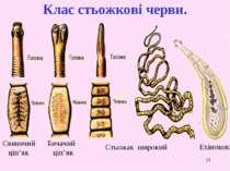 * Клас стьожкові черви. Стьожак широкий Бичачий ціп'як Свинячий ціп'як Ехінокок