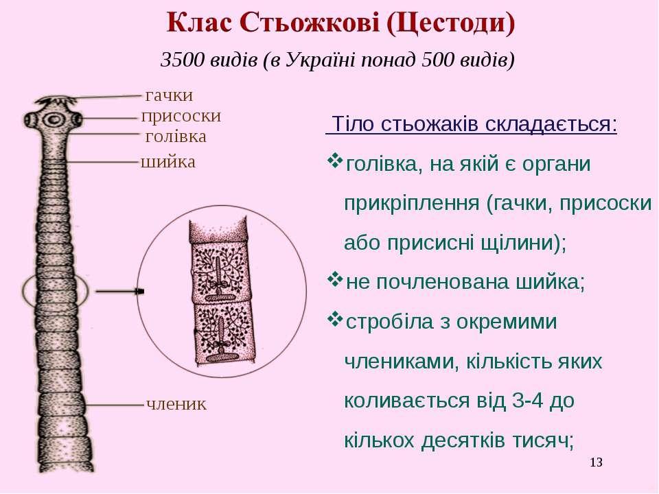 * 3500 видів (в Україні понад 500 видів) голівка гачки присоски шийка членик ...