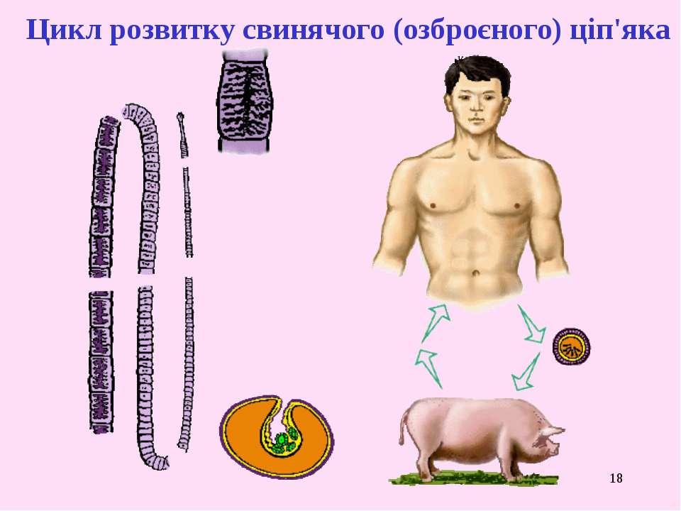 * Цикл розвитку свинячого (озброєного) ціп'яка