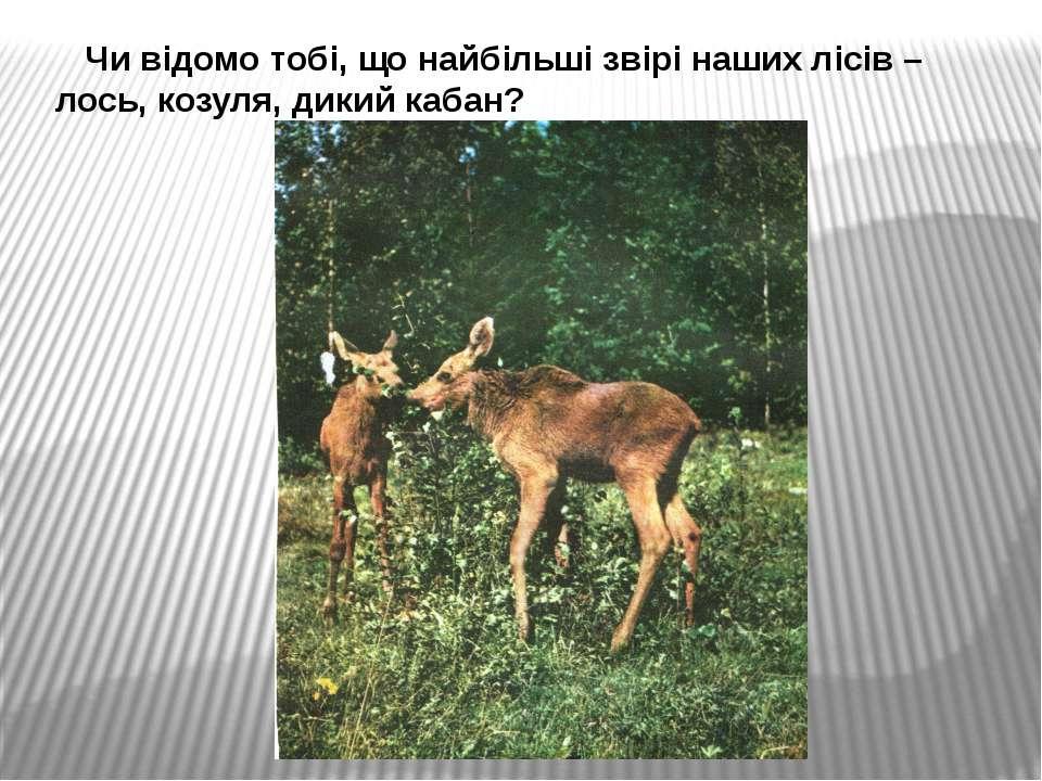 Чи відомо тобі, що найбільші звірі наших лісів – лось, козуля, дикий кабан?