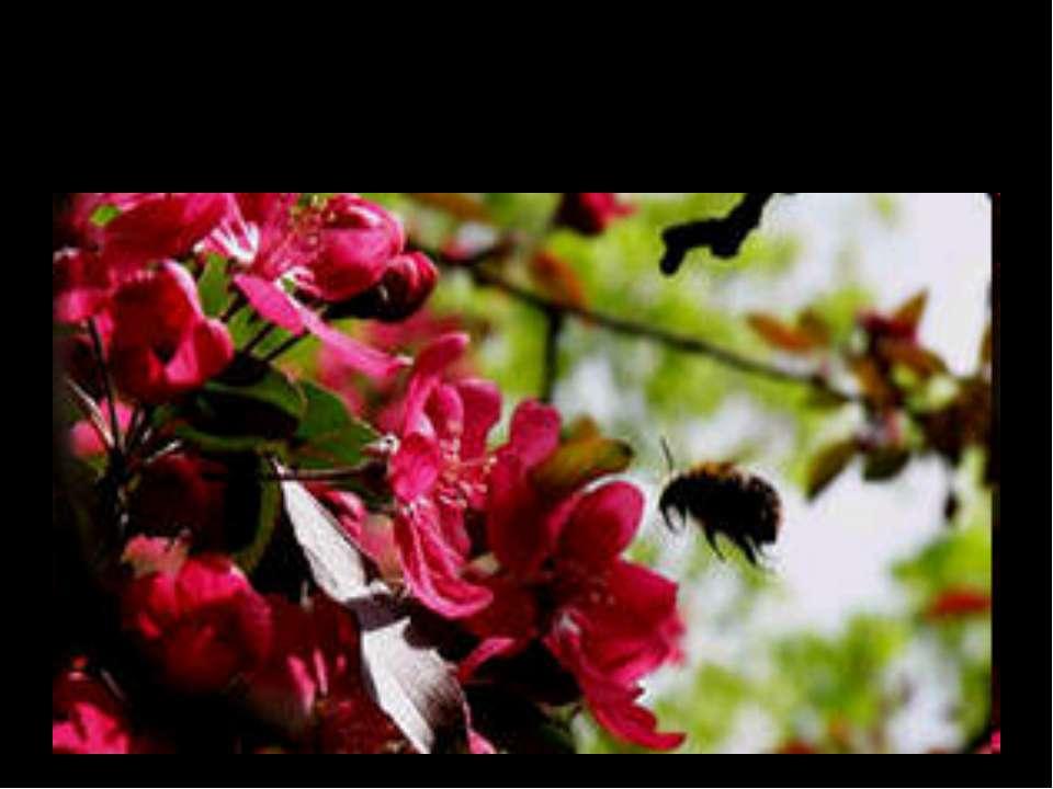 Джерело натхнення поета - рожевий цвіт яблуні