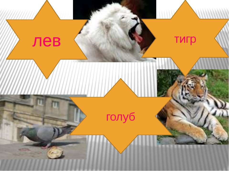 лев тигр голуб