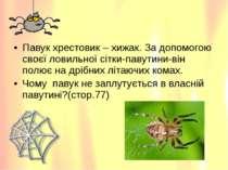 Павук хрестовик – хижак. За допомогою своєї ловильної сітки-павутини-він полю...
