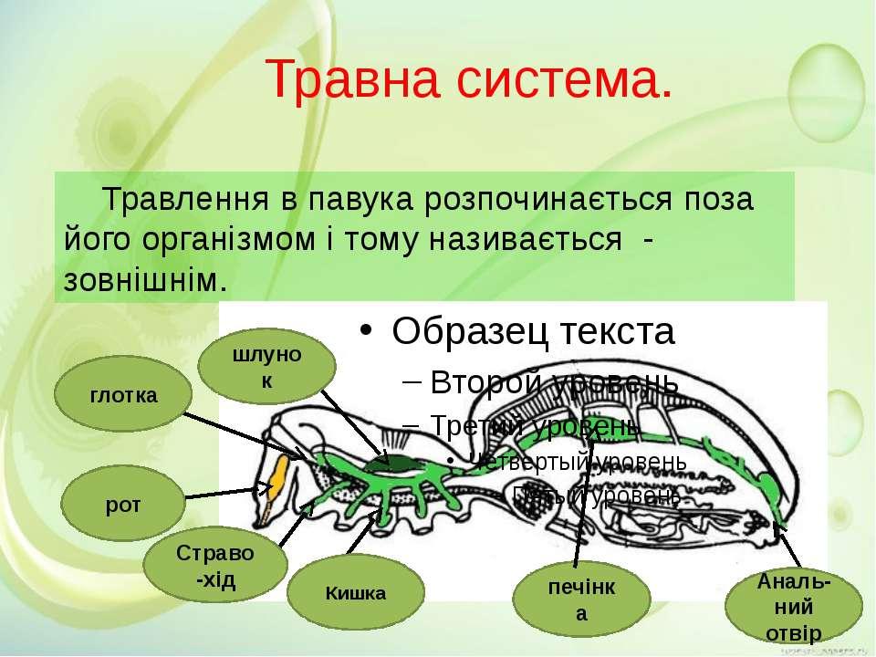 Травна система. Травлення в павука розпочинається поза його організмом і тому...