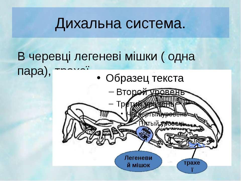 Дихальна система. В черевці легеневі мішки ( одна пара), трахеї. Легеневий мі...