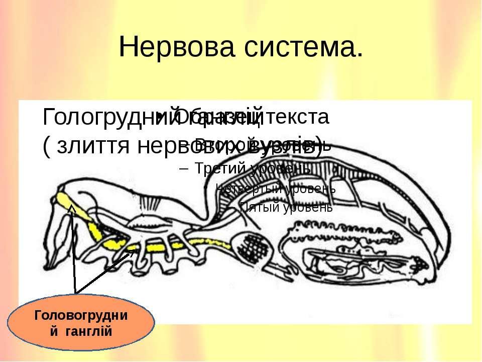Нервова система. Гологрудний ганглій ( злиття нервових вузлів) Головогрудний ...