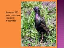 Шпаки до 250 разів приносять їжу своїм пташенятам
