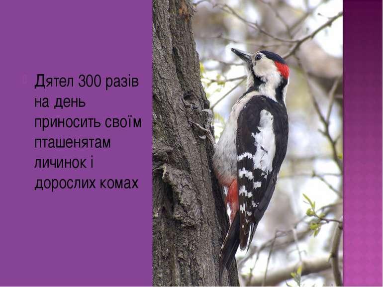 Дятел 300 разів на день приносить своїм пташенятам личинок і дорослих комах