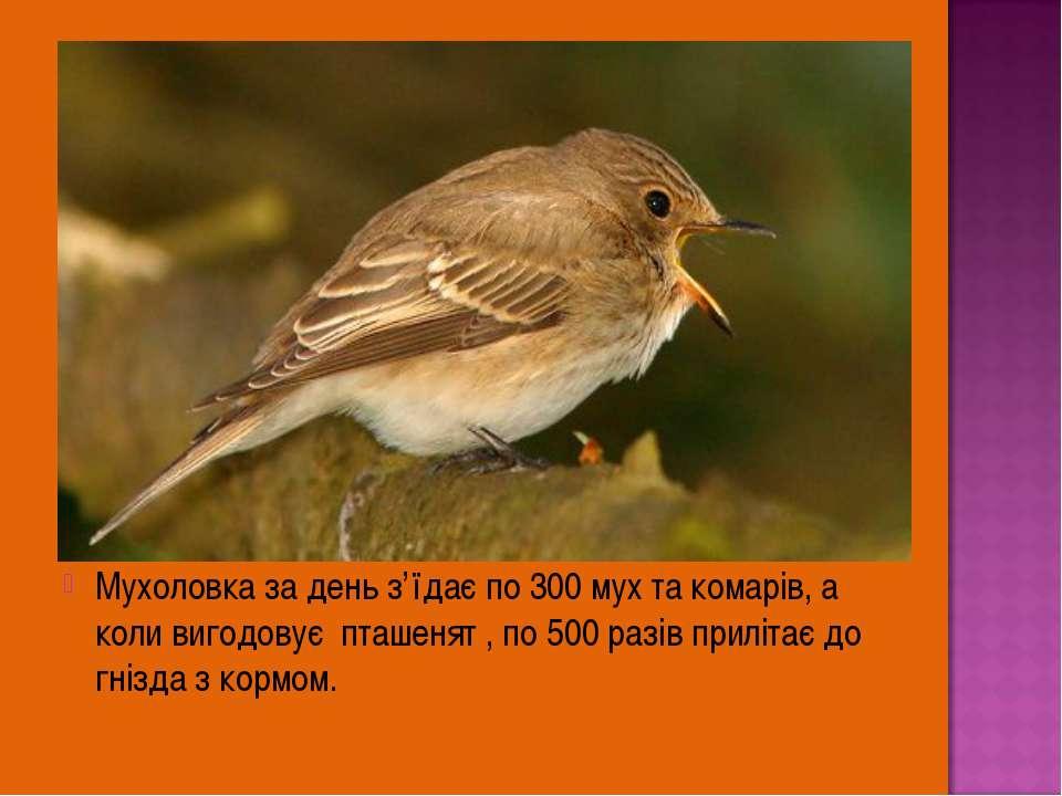 Мухоловка за день з'їдає по 300 мух та комарів, а коли вигодовує пташенят , п...