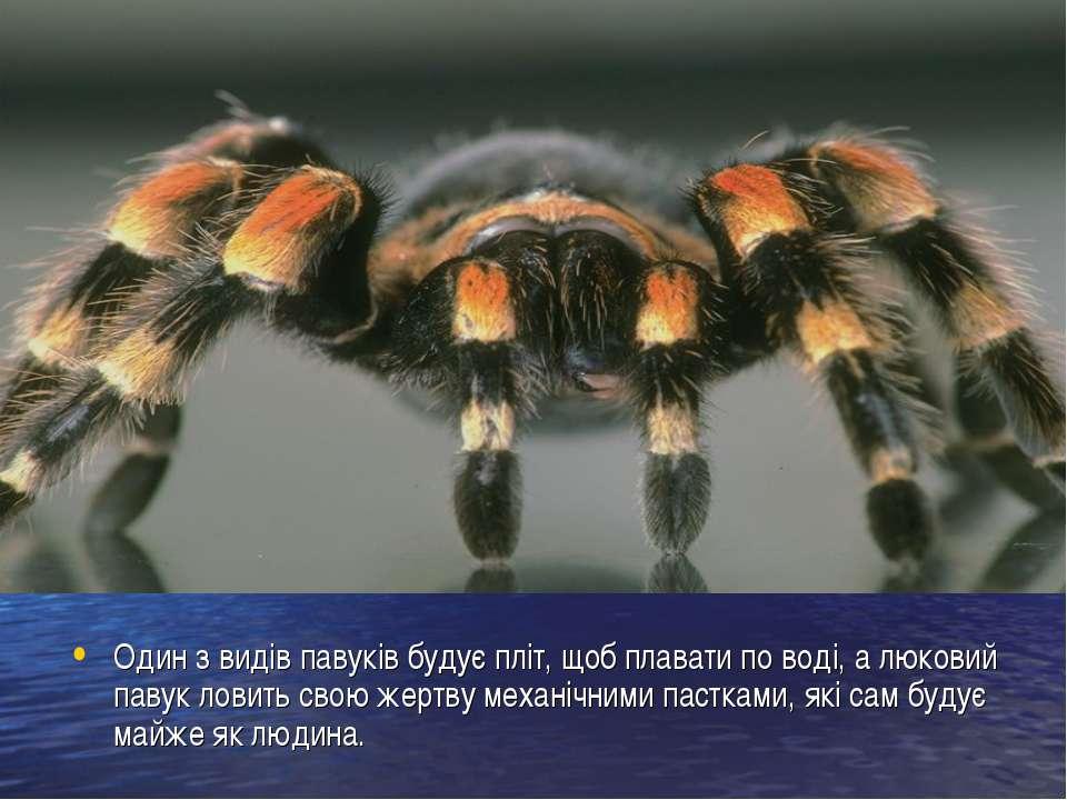 Один з видів павуків будує пліт, щоб плавати по воді, а люковий павук ловить ...