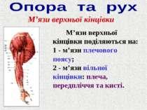 М'язи верхньої кінцівки М'язи верхньої кінцівки поділяються на: 1 - м'язи пле...