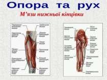 М'язи нижньої кінцівки