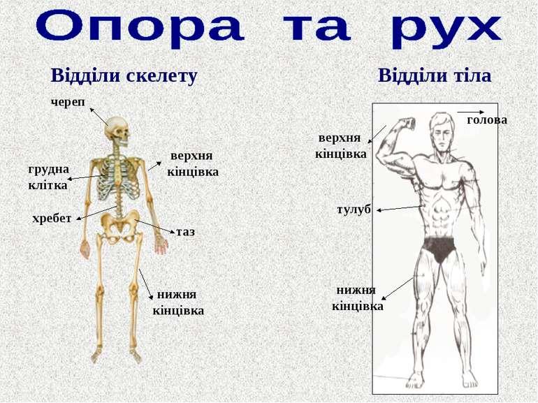 Відділи тіла Відділи скелету череп хребет таз грудна клітка нижня кінцівка ве...
