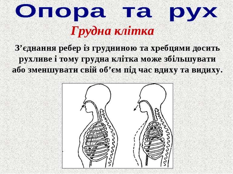 Грудна клітка З'єднання ребер із грудниною та хребцями досить рухливе і тому ...