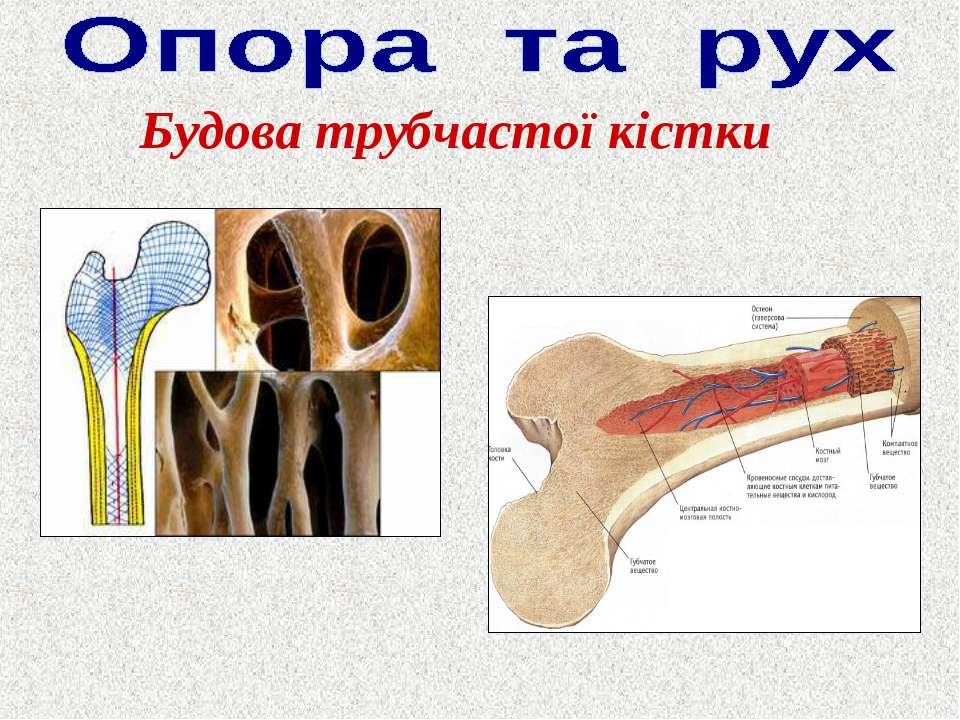 Будова трубчастої кістки