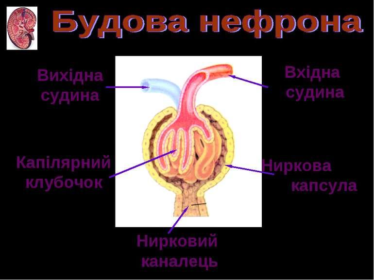 Вхідна судина Вихідна судина Ниркова капсула Капілярний клубочок Нирковий кан...