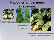 Недостача поживних елементів: Пожовкле нижнє листя — ознака нестачі азоту Оз...