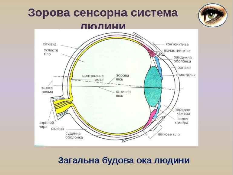 Зорова сенсорна система людини Загальна будова ока людини