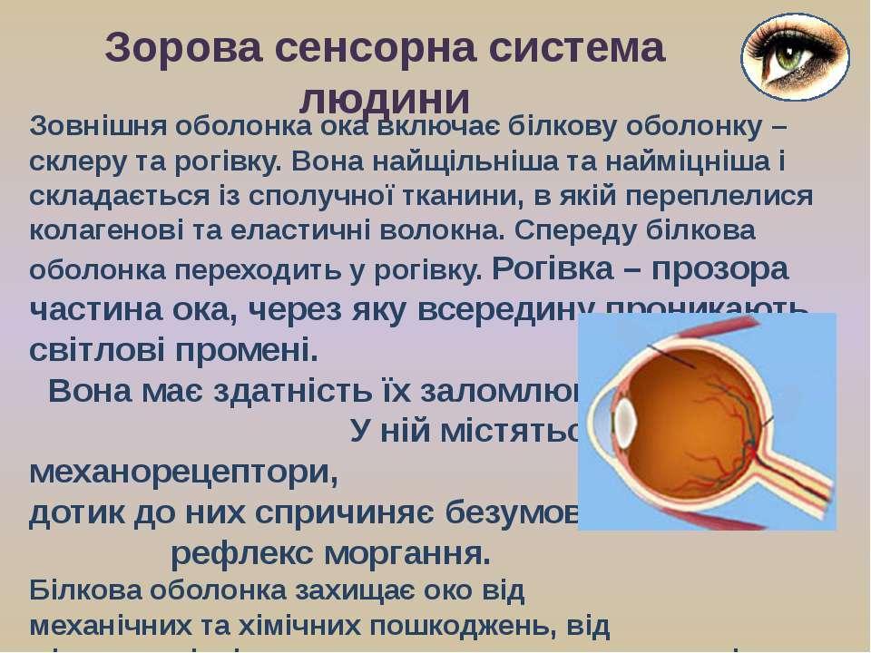 Зовнішня оболонка ока включає білкову оболонку – склеру та рогівку. Вона найщ...
