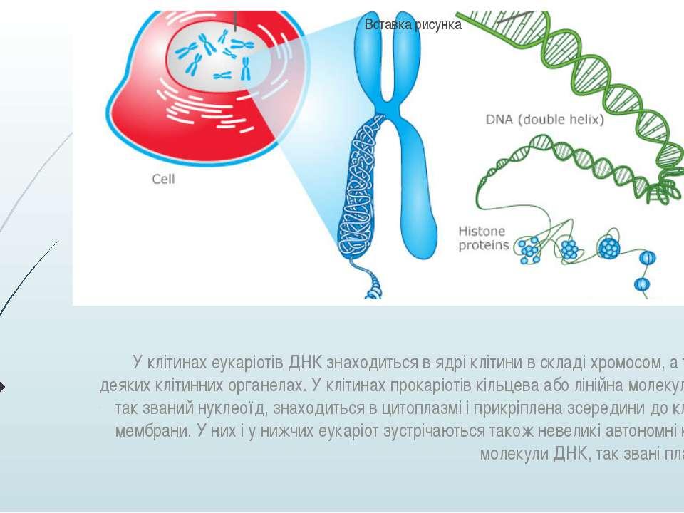 У клітинах еукаріотів ДНК знаходиться в ядрі клітини в складі хромосом, а так...