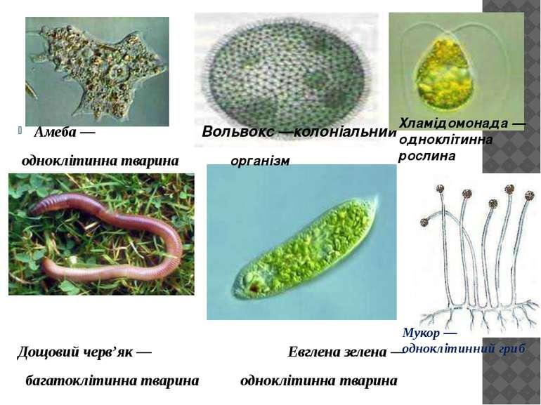 Амеба — Вольвокс —колоніальний одноклітинна тварина організм Дощовий черв'як ...