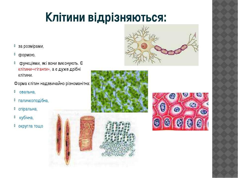 Клітини відрізняються: за розмірами, формою, функціями, які вони виконують. Є...