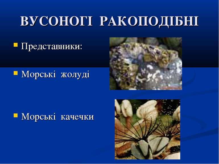 ВУСОНОГІ РАКОПОДІБНІ Представники: Морські жолуді Морські качечки