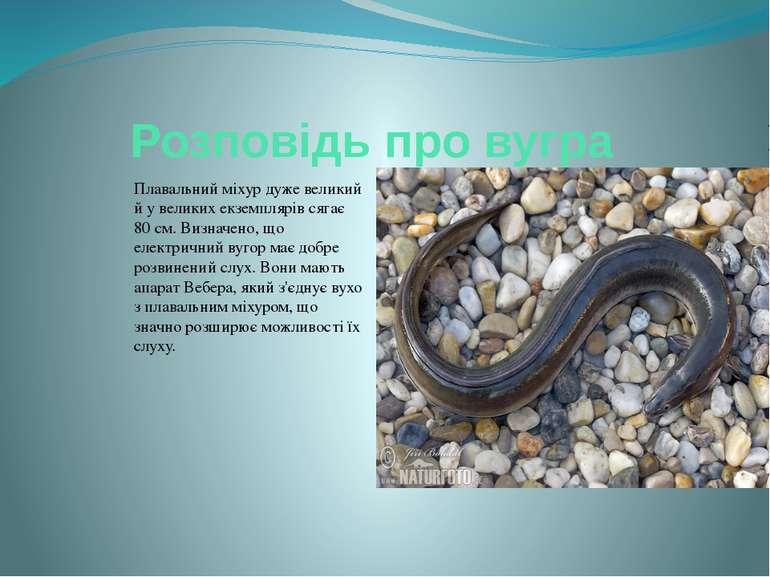 Розповідь про вугра Плавальний міхур дуже великий й у великих екземплярів сяг...