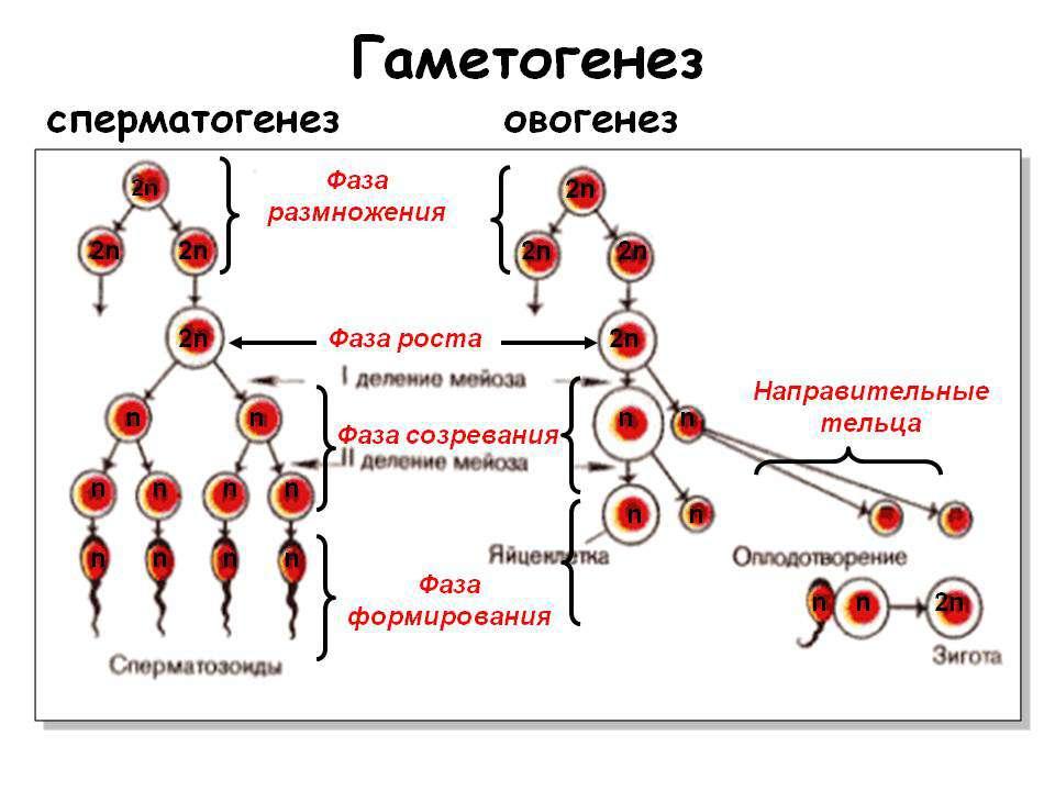 Фази гаметогенезу Гаметогенезпідрозділяється насперматогенез(процес утворе...