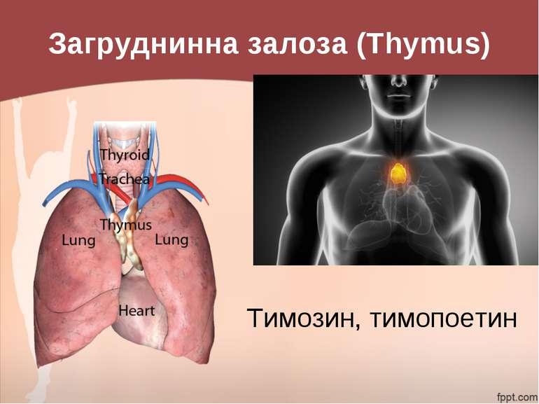 Загруднинна залоза (Thymus) Тимозин, тимопоетин