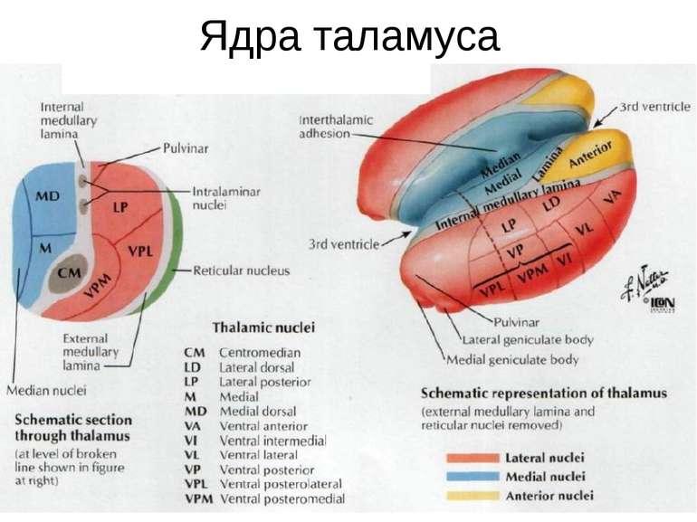 Ядра таламуса